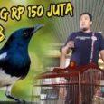Burung kacer seharga Rp 150 juta raib alias hilang di bagasi pesawat
