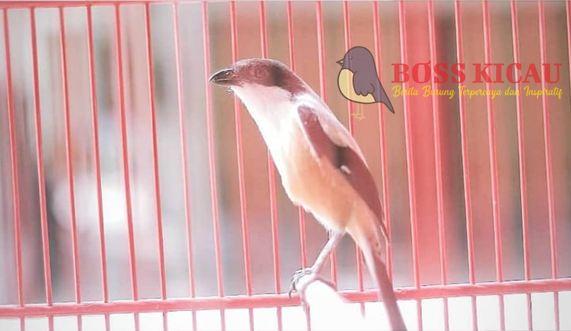Kroto Dapat Membuat Burung Pintar, Kok Bisa?