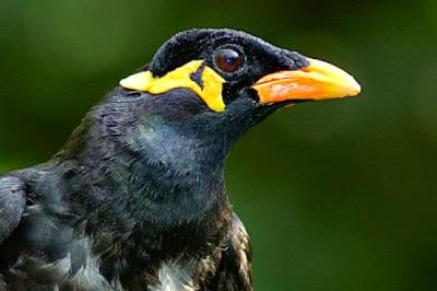 Humor Segar: Burung Beo Si Ucok Melawan Preman