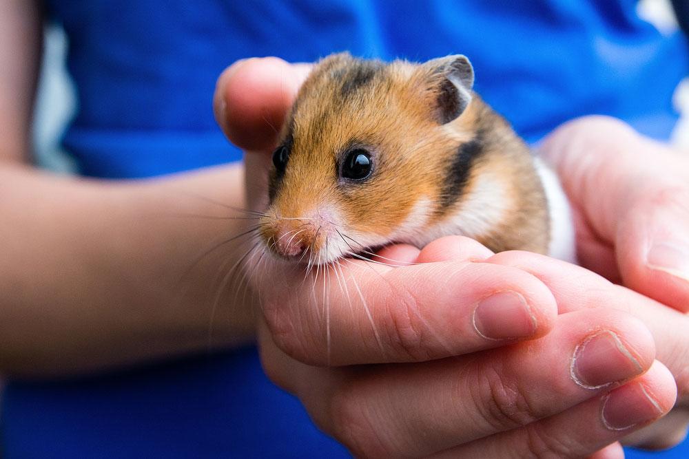 Humor: Ditanya Burung, Jawabannya Malah Hamster