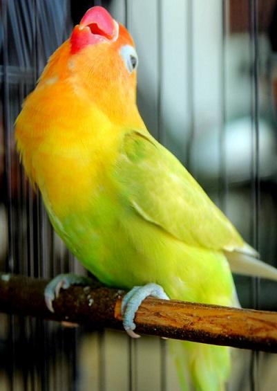Cara Mengetahui dan Mengenal Karakter Love Bird