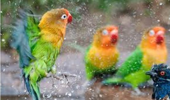 Perhatikan 5 Hal dalam Merawat Love Bird Anda